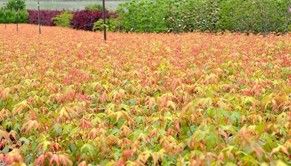 Acer palmatum seedlings