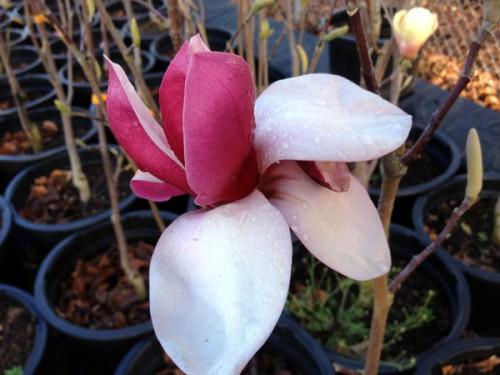 Magnolia Crescendo