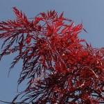 Acer palmatum dissectum 'Inaba shidare'