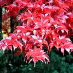Acer palmatum 'Harvest Red'