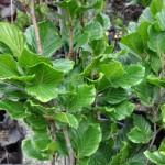 Fagus sylvatica 'Dawyk Green'