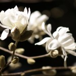 Magnolia x loebneri 'Donna'