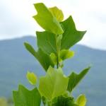 Liriodendron tulipifera 'Arnold'