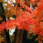 Acer palmatum 'Harvest Orange'