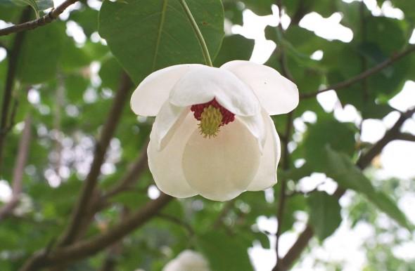magnolia magnolia sieboldii 39 colossus 39. Black Bedroom Furniture Sets. Home Design Ideas